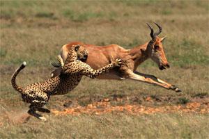 Atak dzikiego zwierzęcia